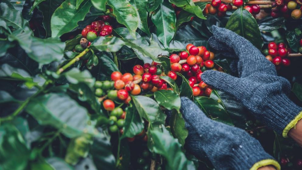Brazílske plantáže sú rozsiahlejšie ako pol Slovenska. Toto sú najväčší producenti kávy na svete
